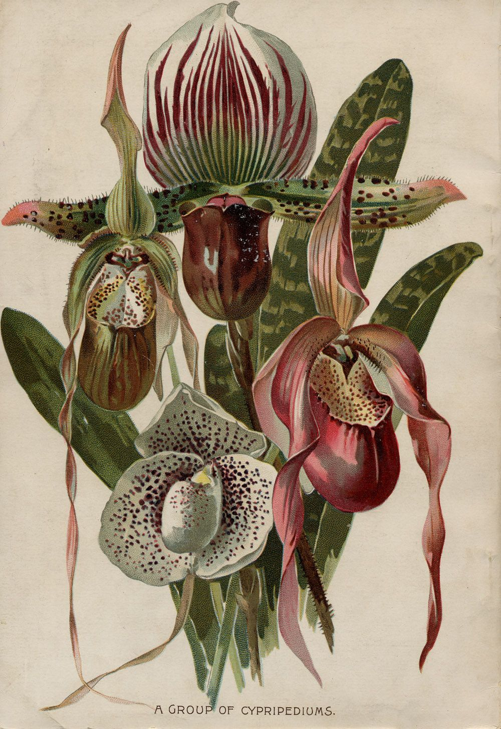 Seed Catalogs from Smithsonian Institution Libraries. Slipper Orchids.