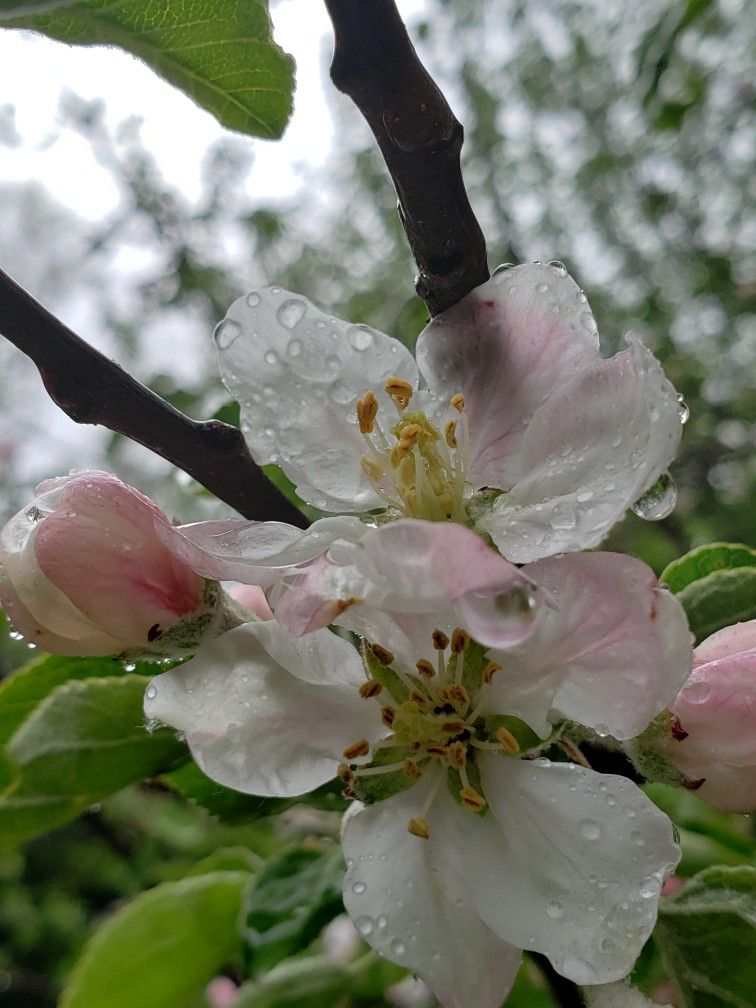 apple blossoms in the rain | Apple tree blossoms, Apple blossom, Apple tree