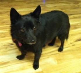 Oregon Purebred Schipperke Gracie Is A Good Natured Loving Companion She Is An Adorable Sweetie That Will Melt Your Heart Gracie Doesn T Bother With Cat