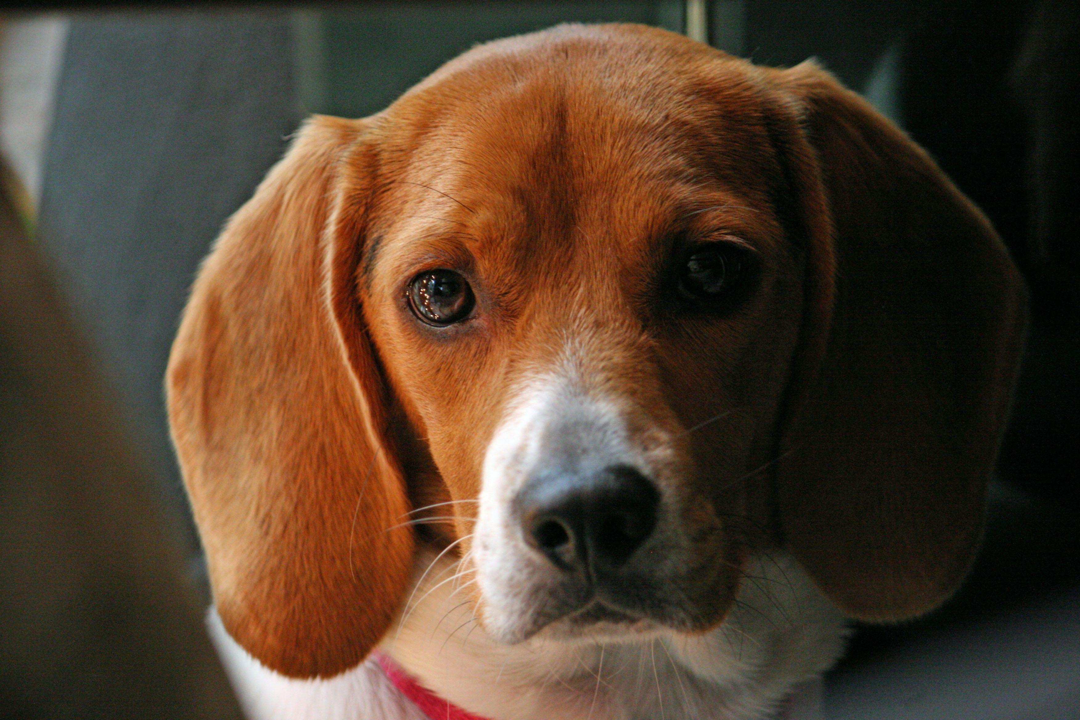 Beagles Wallpapers Beagle Pupys Face Top 10 Dog Breeds Dogs Beagle
