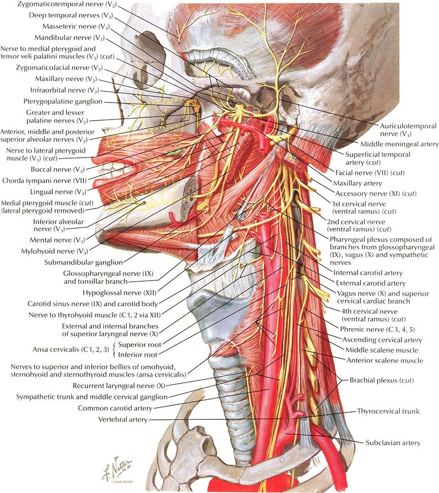 Nerves of Oral and Pharyngeal Regions, Netters Atlas | Geekin ...