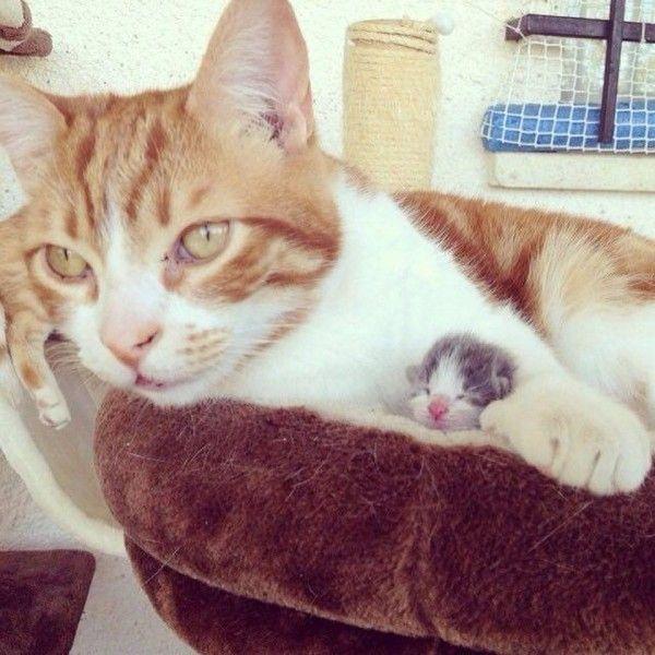 Male Cat Becomes New Papa To Tiny Orphaned Kitten Newborn Kittens Cute Baby Animals Tiny Kitten