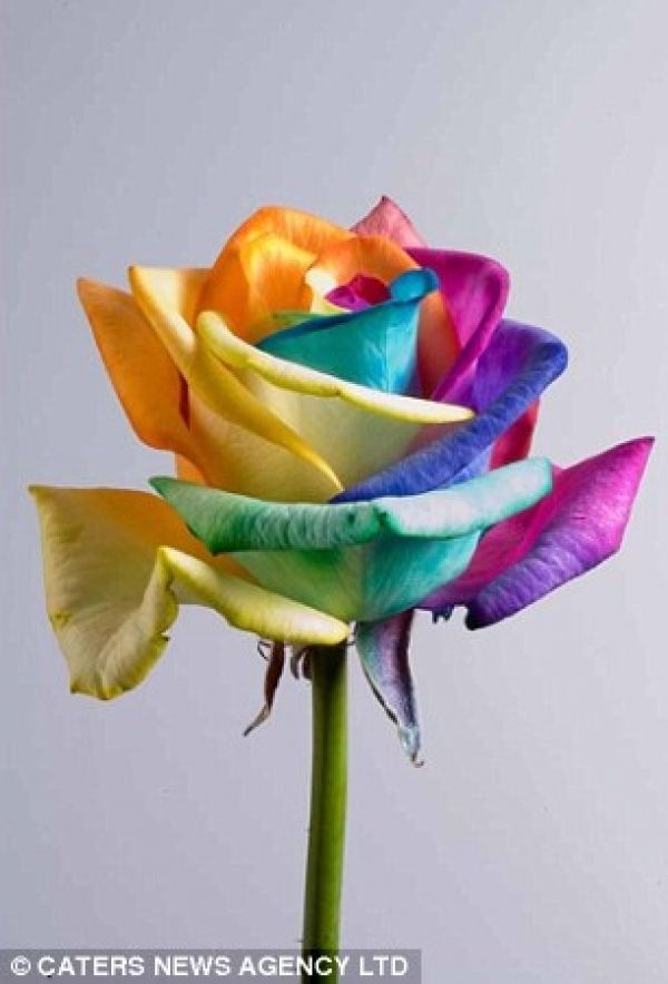 Genetically Modified Flowers Called Happy Roses Or Rainbow Roses The Actual Process Is Kept Secret By Dutch Florists Rose Seeds Rainbow Roses Flower Seeds