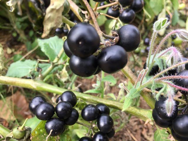 Harvesting Garden Huckleberry | Unusual Edible Plants | Pinterest ...