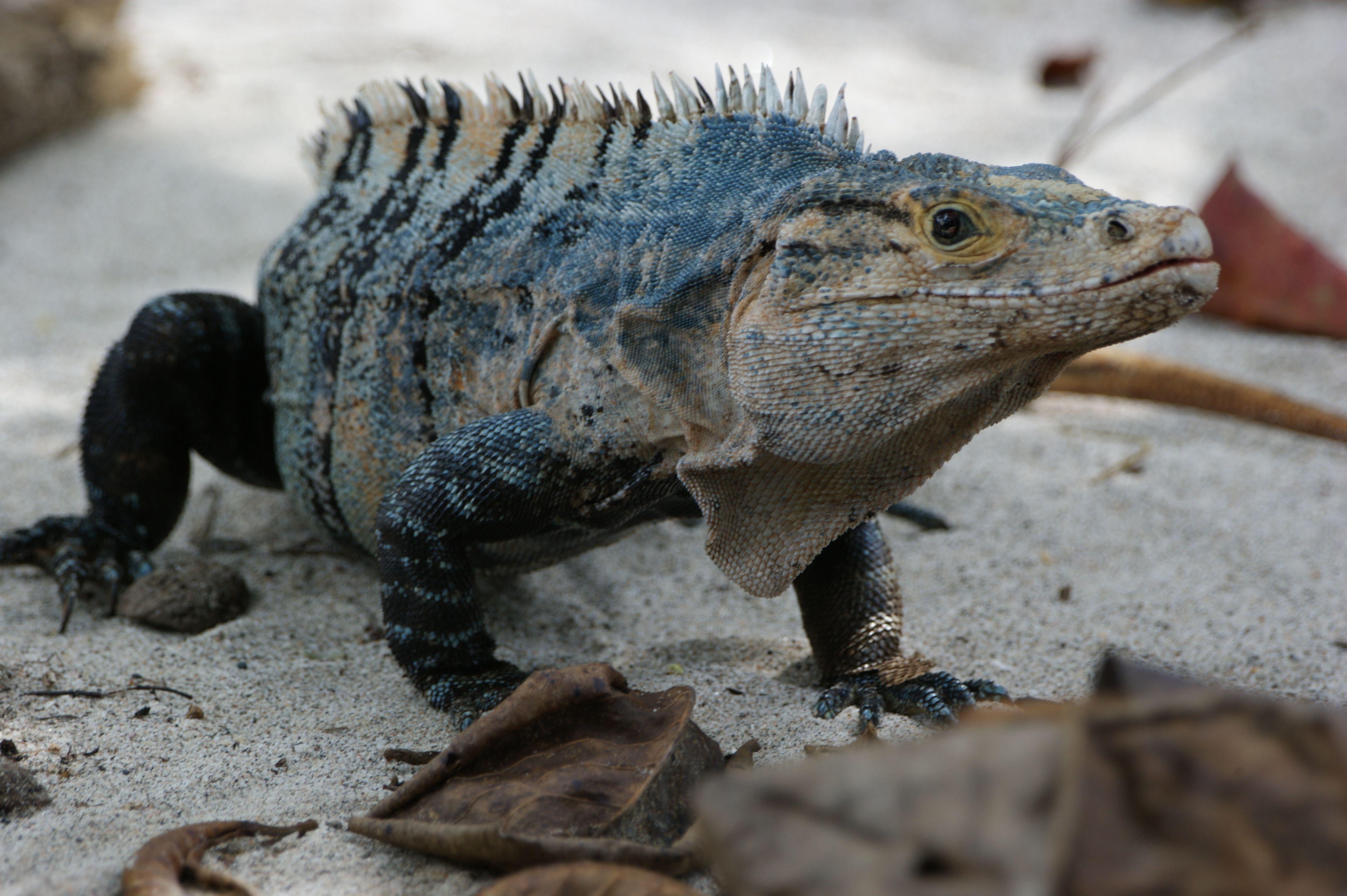 Black Iguana Reptiles and amphibians, Lizard species
