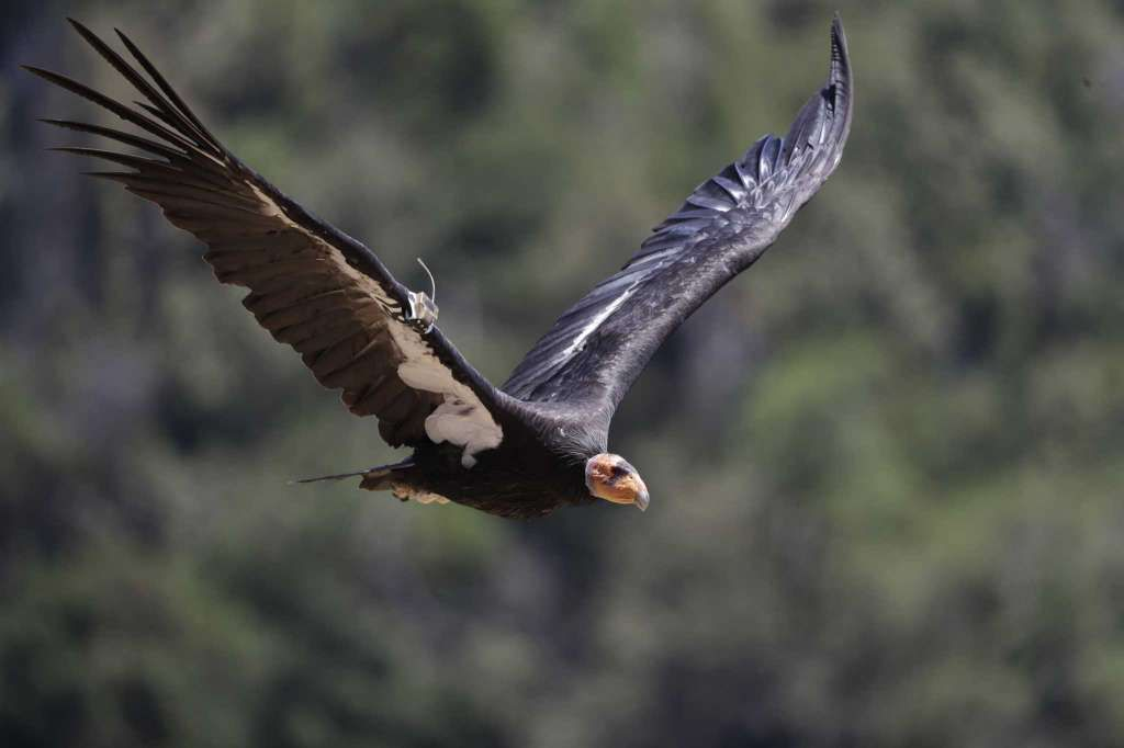 California Condor Takes Flight In Wild After Near Extinction California Condor Extinction Wildlife Society