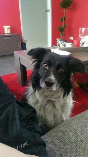 My border collie Roefel