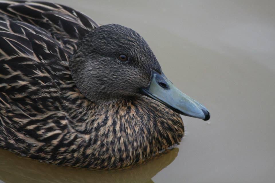 Meller's Duck Pet birds, Ducky duck, Duck