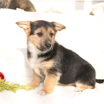 Pembroke Welsh Corgi Yorkshire Terrier Mix Puppy For Sale In Gap Pa
