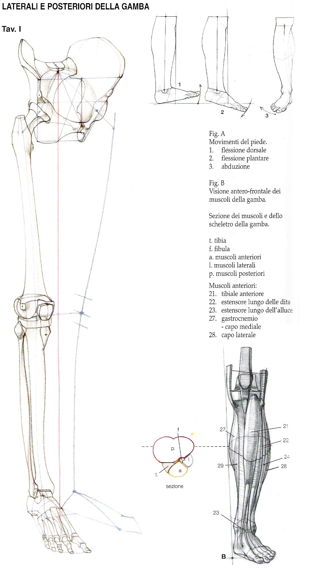 Pierna | Body | Pinterest | Piernas, Anatomía y Anatomía humana