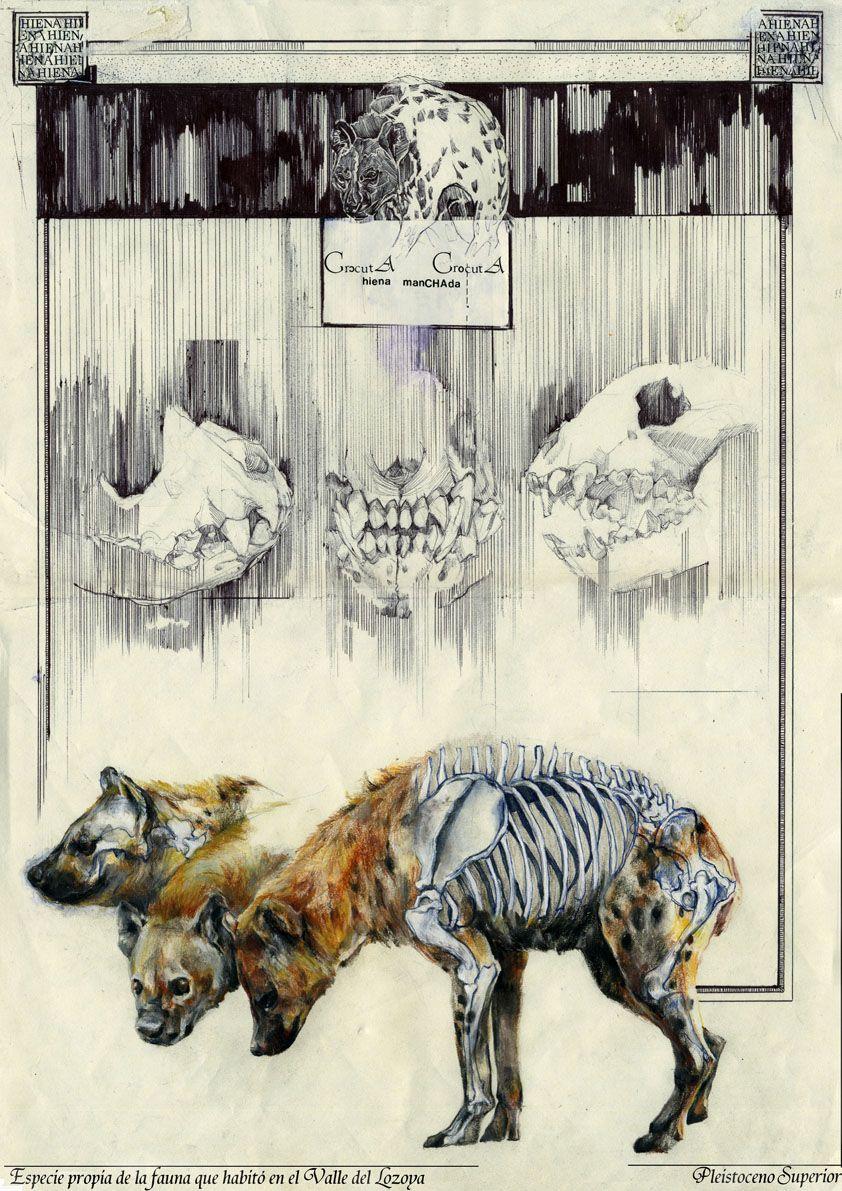 Crocuta Crocuta Pleistoceno Superior _ Yolanda Gonzalez Perez   Work selected for the first edition of the award Il·lustraciència.