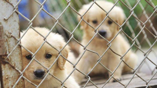 Illegaal transport van puppy's naar België onderschept