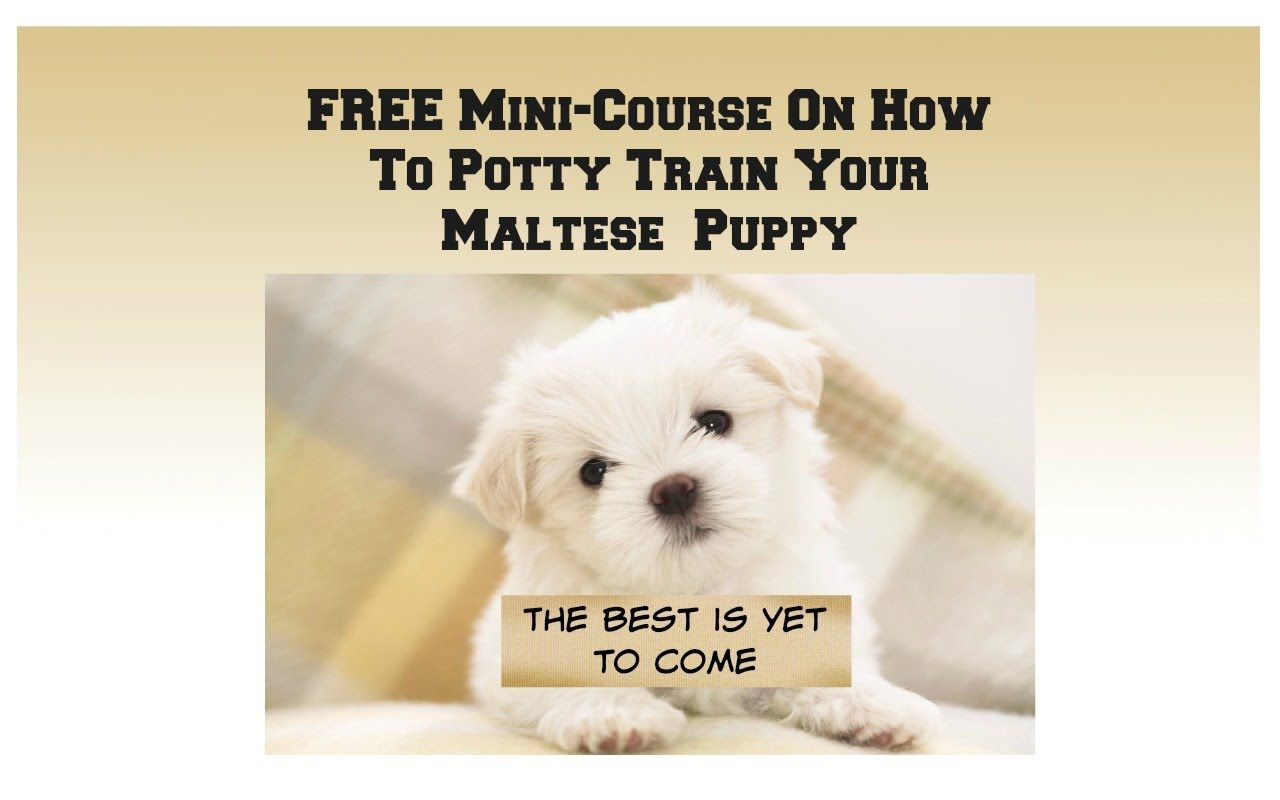 Maltese Dog Breed How To Potty Train A Maltese Puppy House