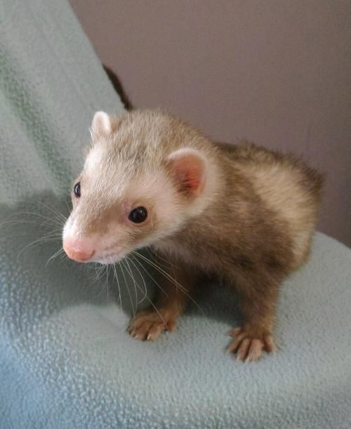 Riley is an adoptable ferret searching for a forever family near Cleveland, OH. Use Petfinder to find adoptable pets in your area.