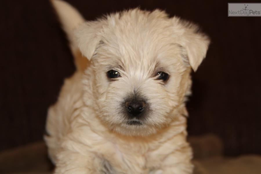Cora West Highland White Terrier Westie Puppy For Sale Near St