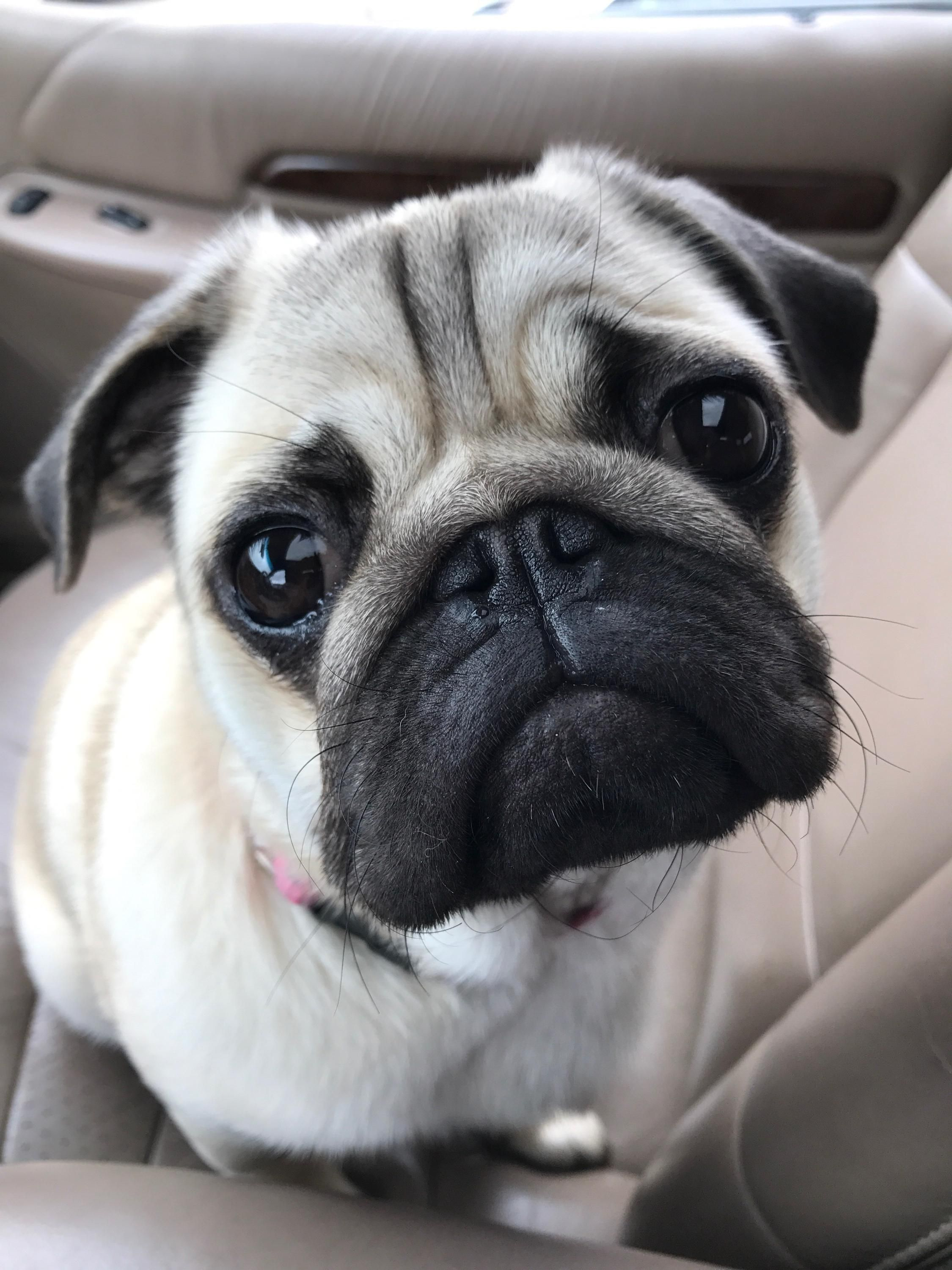Winnie The 9 Month Old Pug Http Ift Tt 2tuy7xb Old Pug Pugs