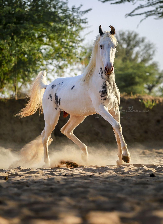название она марвари фото коней размер