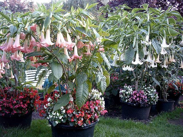 I Pot-Plant Patio Balcony Seeds Winter Garden Pink Angel Trumpet I