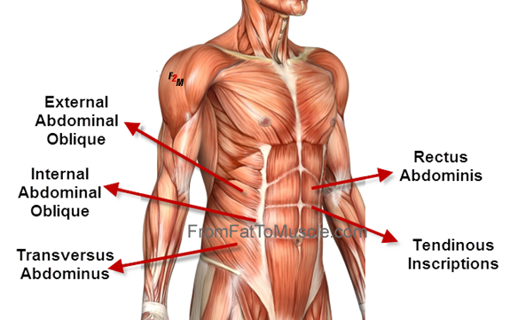 Abdominal Muscle Anatomy Anatomy Pinterest Exercise Workout