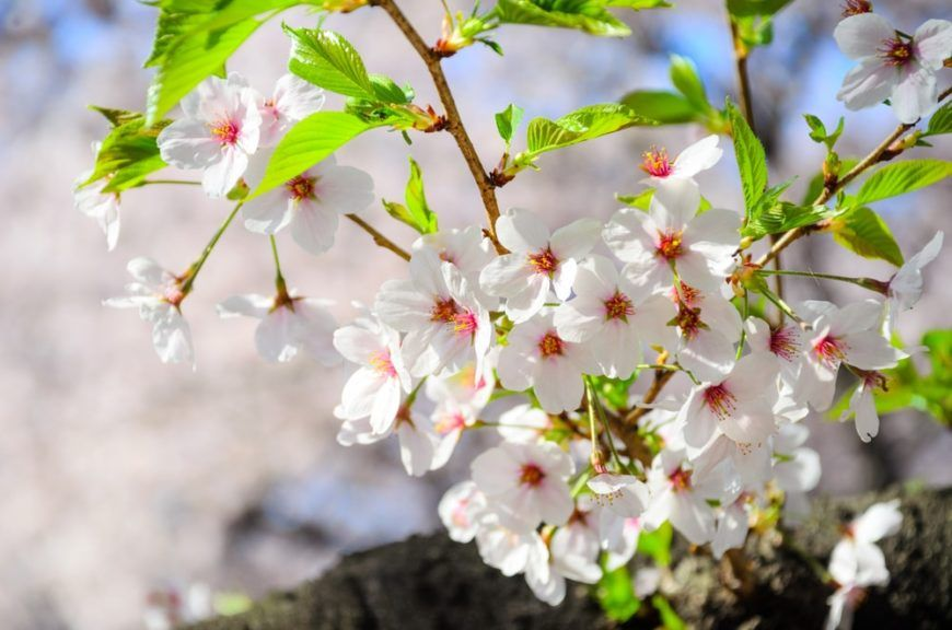 22 Different Types Of Cherry Blossoms And Interesting Facts Types Of Cherries Cherry Blossom Tree Blossom