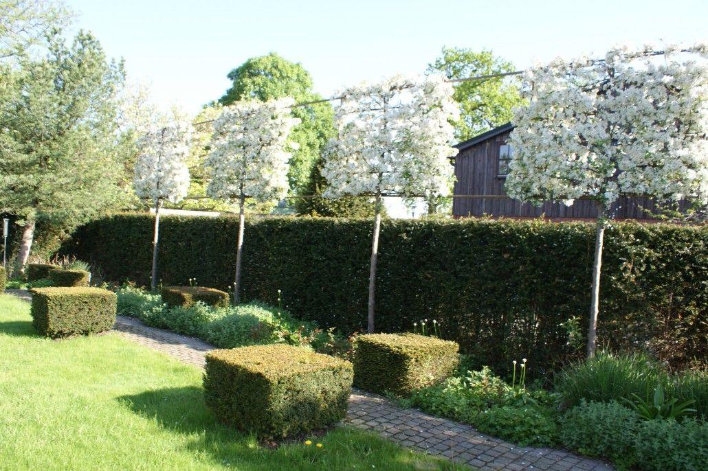Eine Hochstammspalier-Hecke aus Hainbuche wird als Sichtschutz in - vorgarten anlegen nordseite