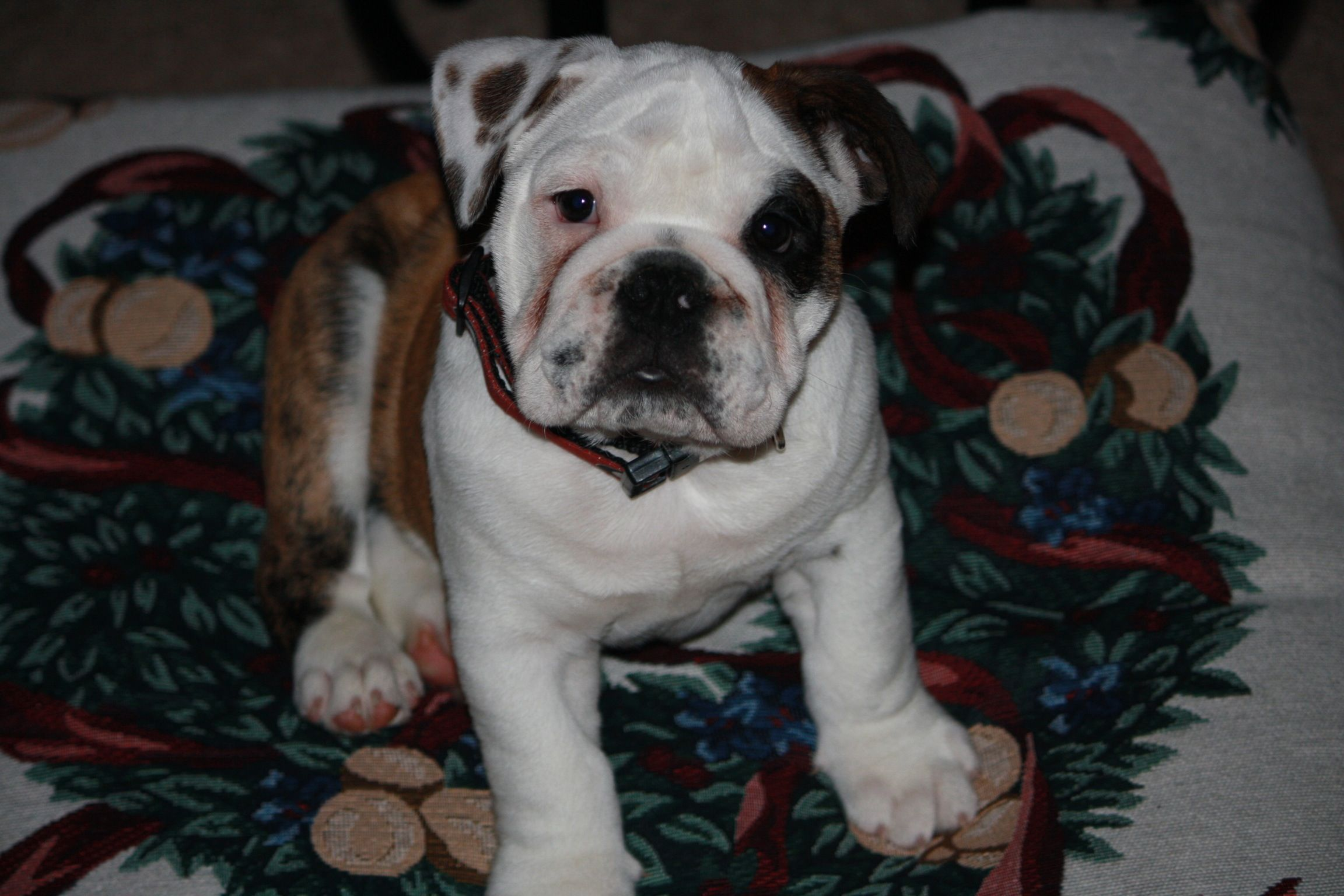 Munson English Bulldog Great Name For Him With Images