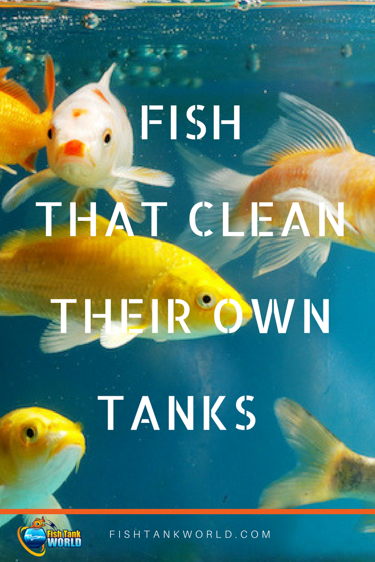 Algae Eating Fish How To Keep Your Aquarium Clean Fish Tank Cleaning Cleaning Fish Small Fish Tanks