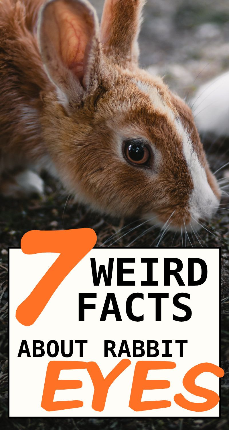 7 Fun Facts About Rabbit Eyes And 5 Problems To Look Out For In