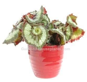 rex begonia, begonia rex, fancy-leafed begonia, begonia house plants