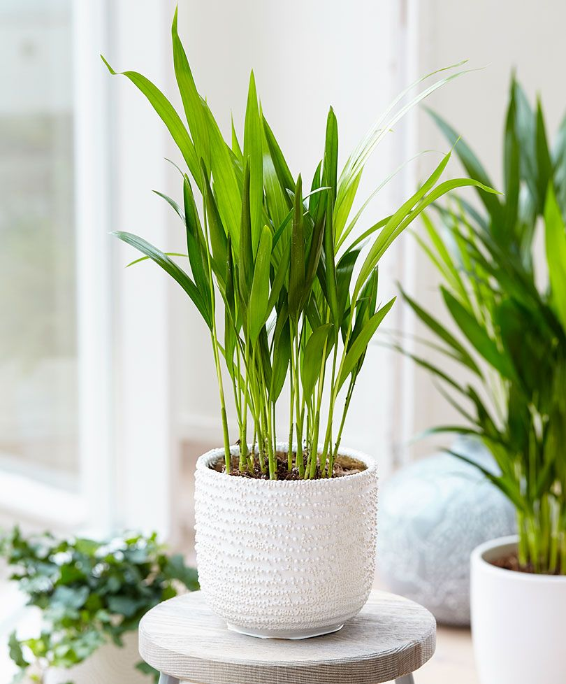 Areca Palm (Dypsis) air purifying. place in bathroom