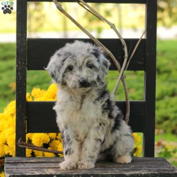 Patch Miniature Aussiedoodle Puppy For Sale In Pennsylvania