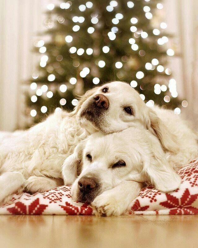 Pin By Alisha Hundley On Dogs Christmas Animals Christmas Dog Dogs