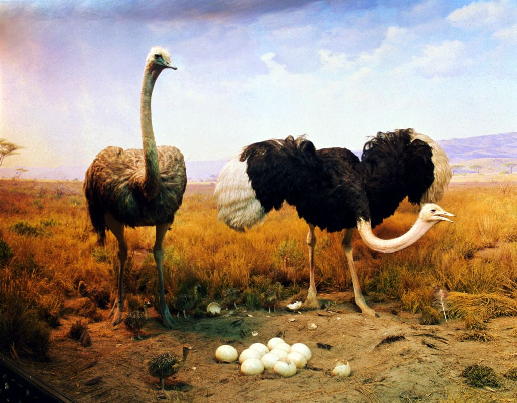 Ostrich dads use their massive wings to protect their chicks from predators and to shield them from the elements.