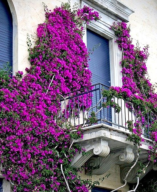 Lovely climbing #Bougainvillea covering an old #balcony and #exterior.