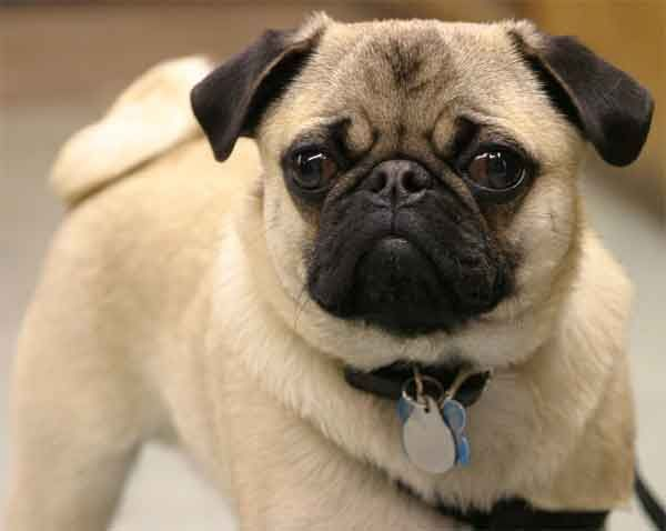 Dog Is Lazy From Childhood In Ludhiana Pugs Pug Dog Pug Puppies