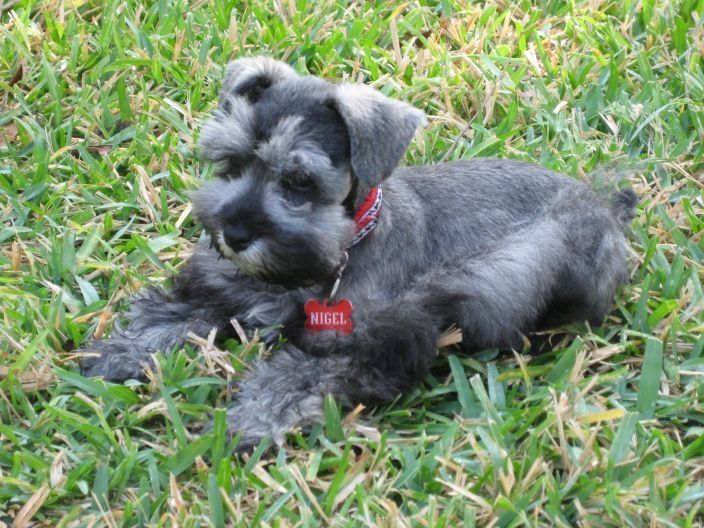 Teacup Toy And Miniature Schnauzer Puppies For Sale Schnauzer Puppy Miniature Schnauzer Puppies Miniature Schnauzer