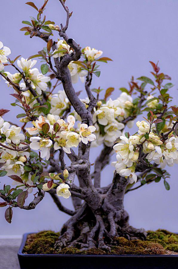 Japanese Flowering Bonsai Photograph Bonsai Bonsai