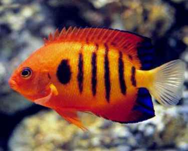Flame Angelfish | Flame Angelfish, (Centropyge loriculus) Species Profile, Flame ...