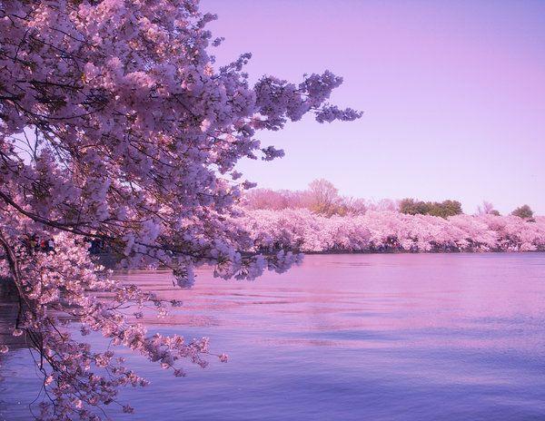 Purple Blossoms Cherry Blossom Wallpaper Cherry Blossom Background Sakura Cherry Blossom Cherry blossom wallpaper hp