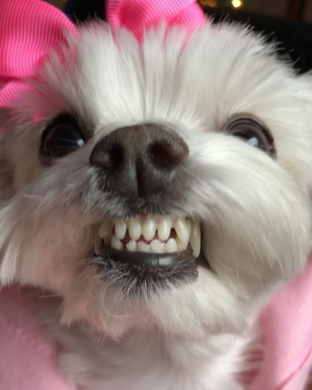 What Do You Mean No Cookies Maltese Dogs Maltese Puppy