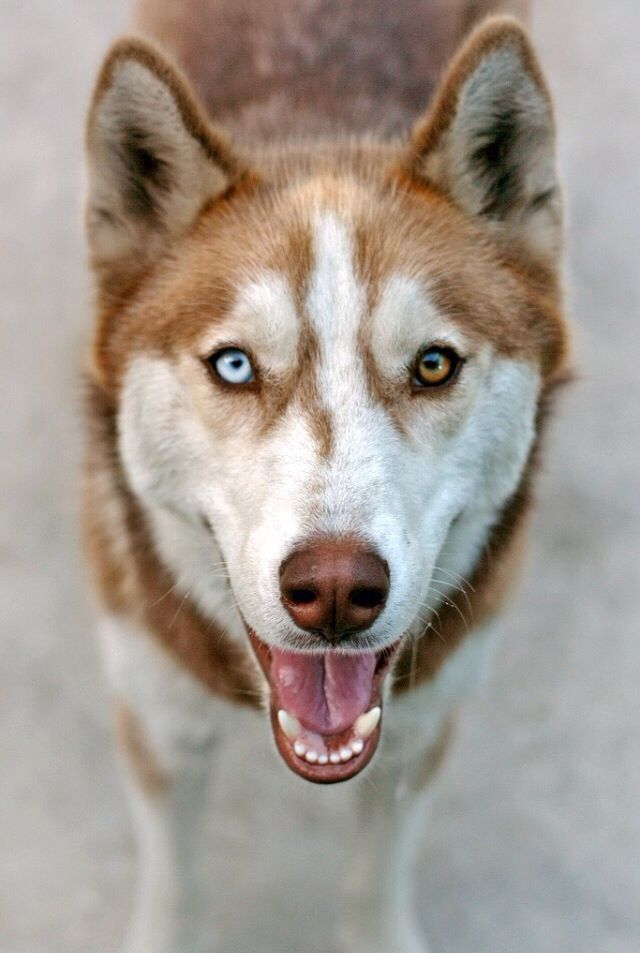 Siberian Husky Multi Color Eyes Husky Dogs