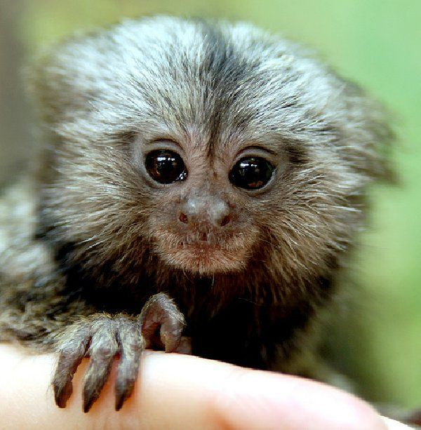 Baby Marmoset And Capuchin Monkeys 1 Jpg 600 613 Pygmy Marmoset Marmoset Monkey Pet Monkey