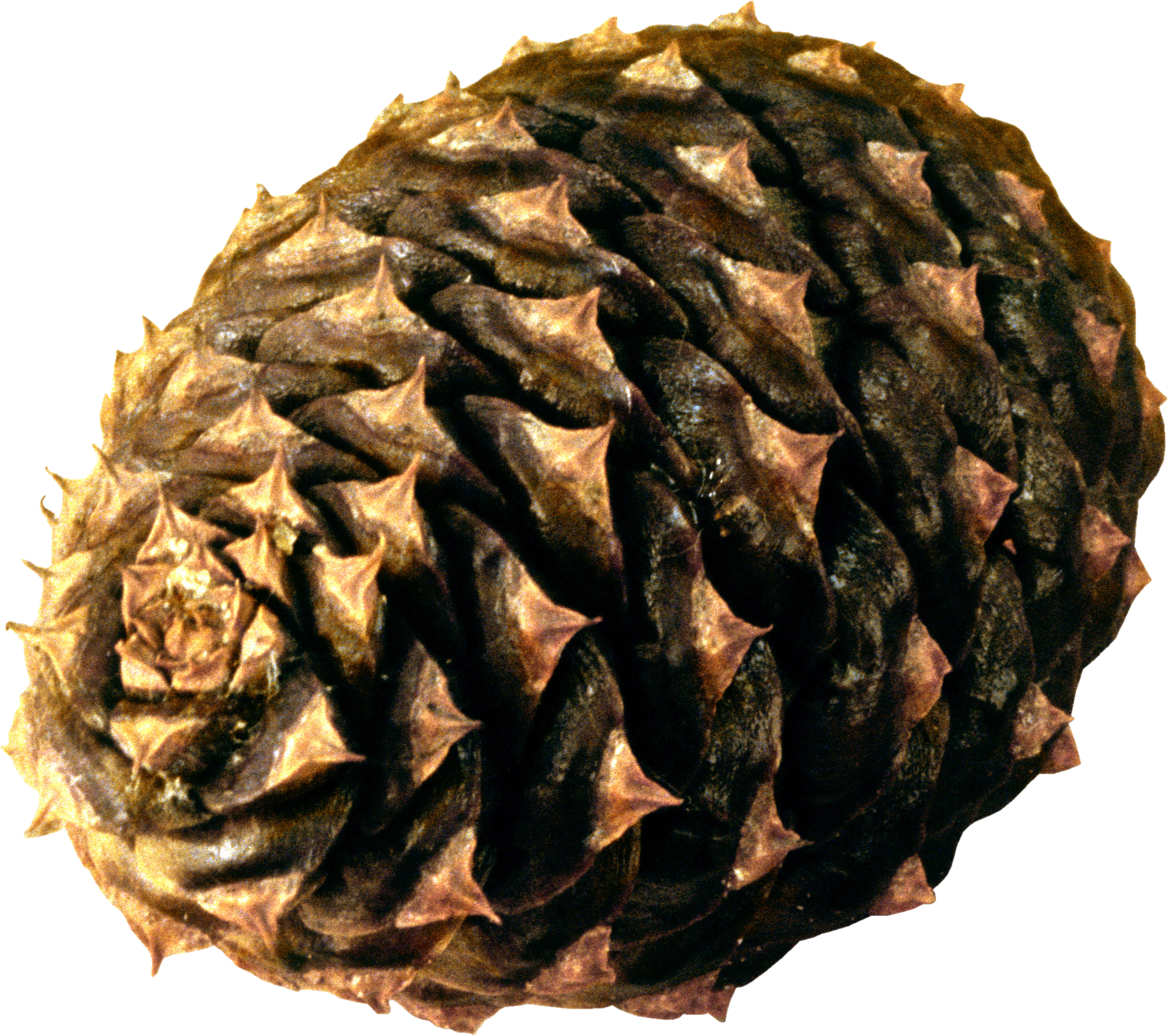 Pine Cone Pine Cones Free Png Image