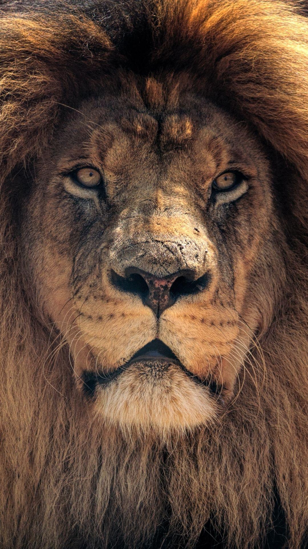 Animal / Lion (1080x1920) Mobile Wallpaper Animals wild