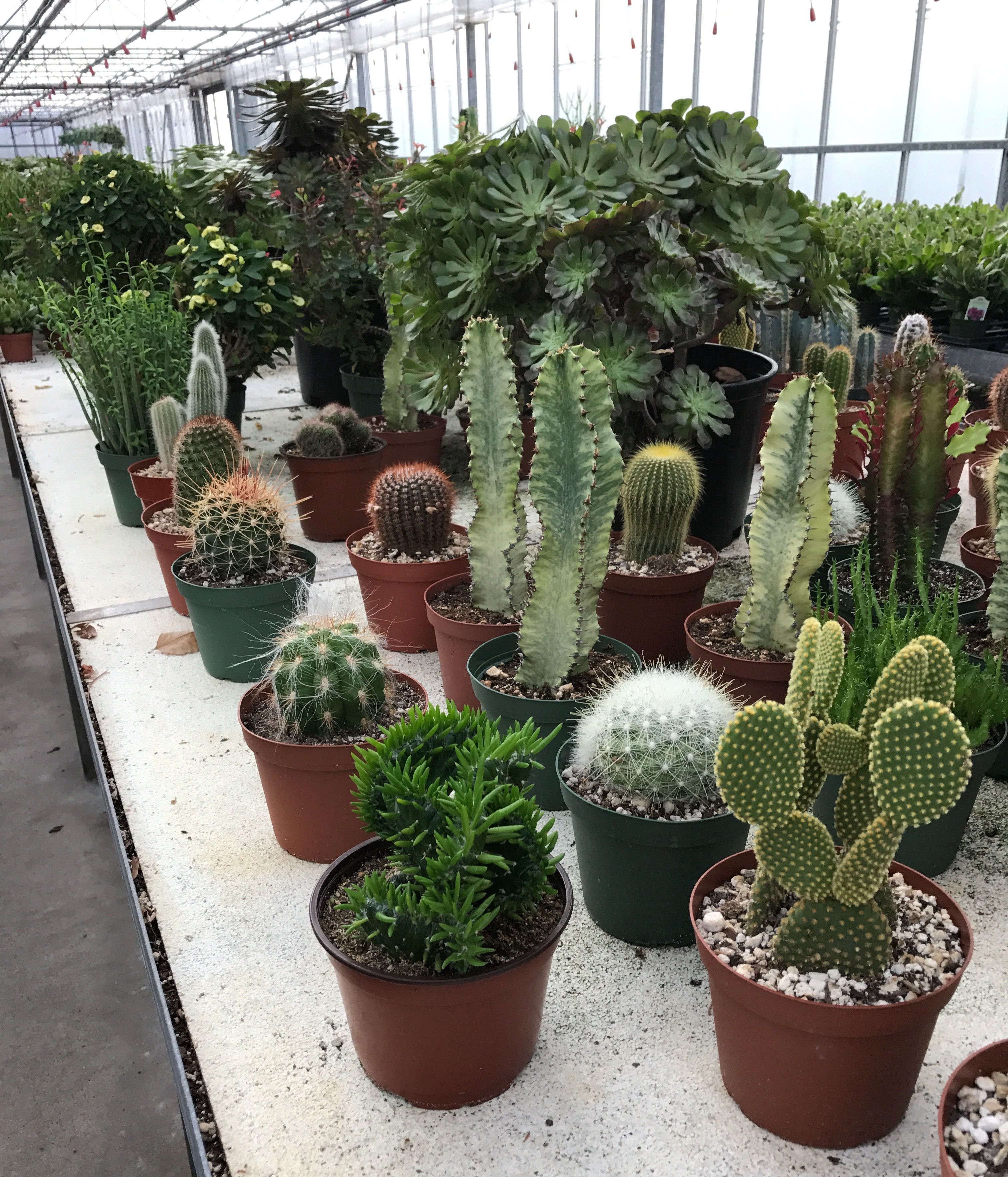 An Assortment Of Cactus Flanked By A Large Black Rose Aeoneum - Japan is going mad over these tiny succulents that look like bunny ears