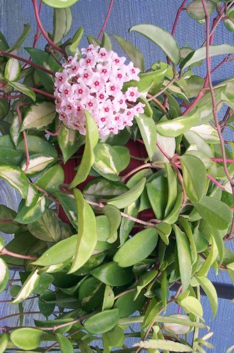 Tricolor Hoya, Porcelain Flower, Wax Flower,Hoya carnosa 'Tricolor'