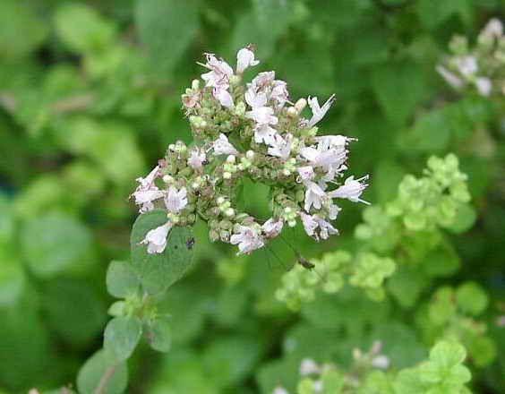 Mejorana o mayorana hierbas arom ticas en la cocina - Plantas aromaticas en la cocina ...