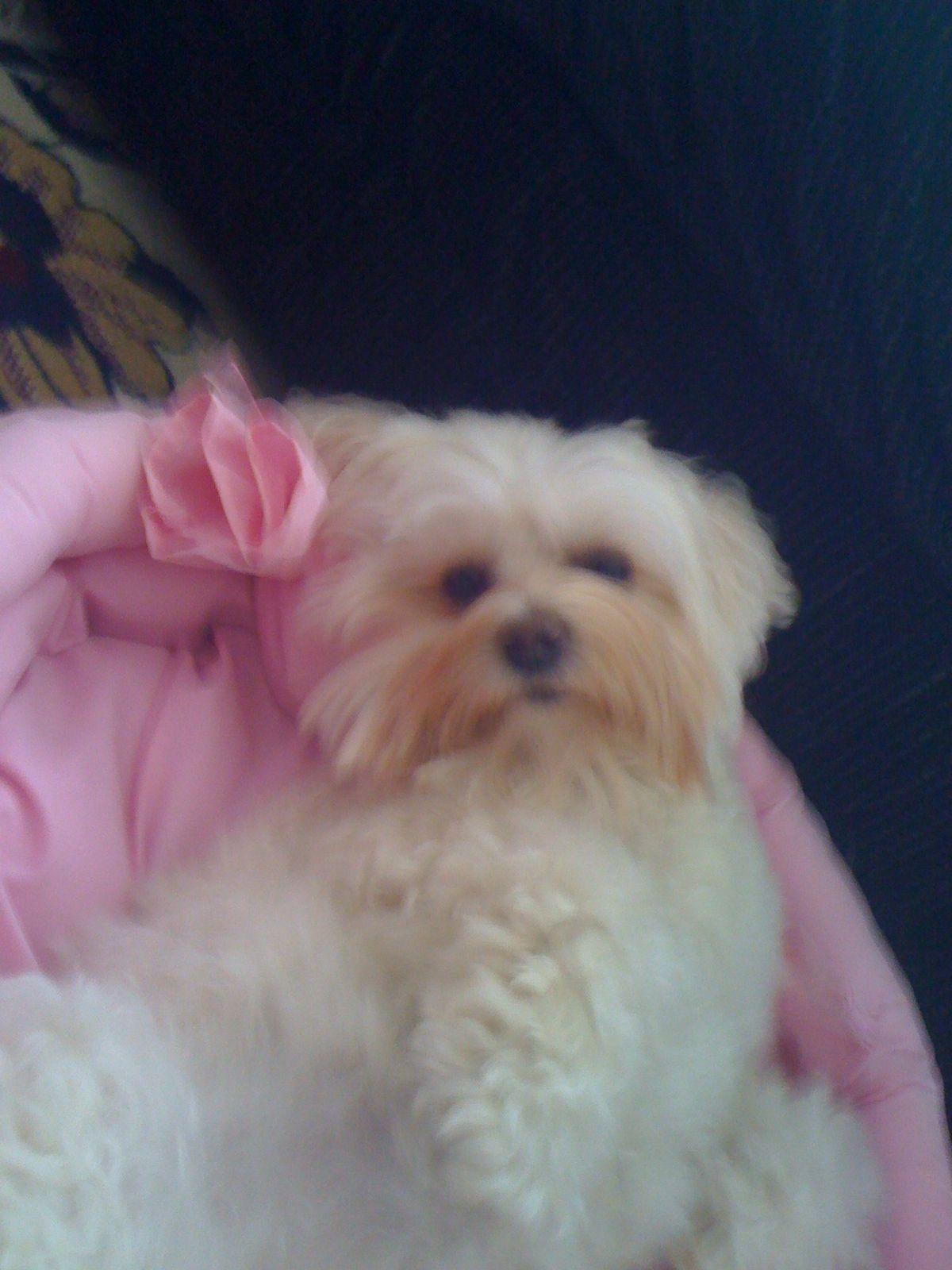 My Maltipoo Daisy.