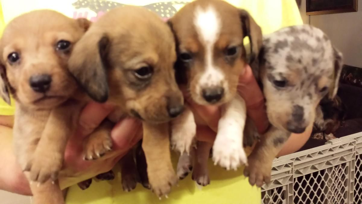 Dorgie Pups For Sale Ready To Go Now In Grand Rapids Michigan