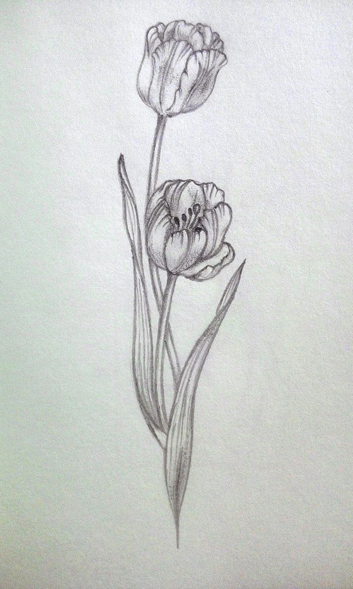 My practice tulip pencil sketch draw pencil floral sketch
